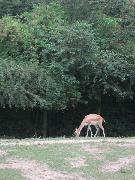 Blackbuck in the Green