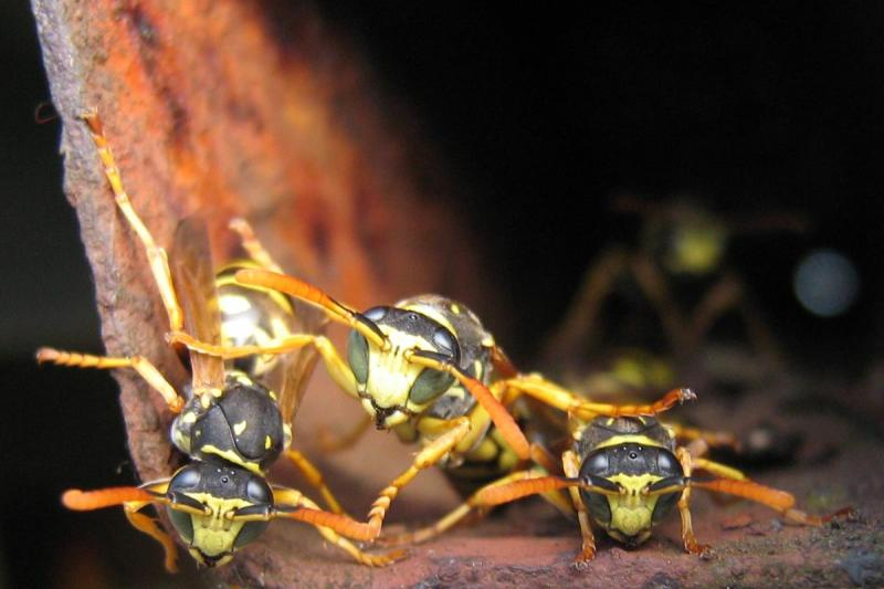 Rusty Wasp Nest