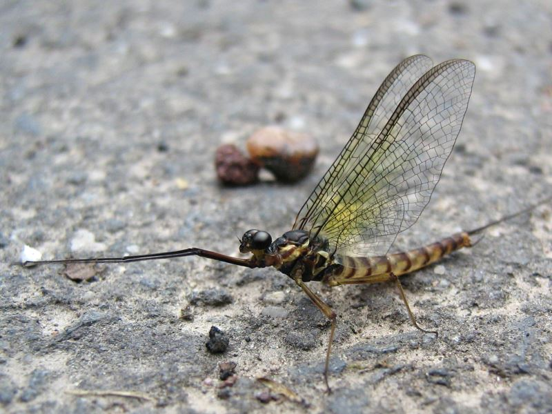 Praying Mayfly