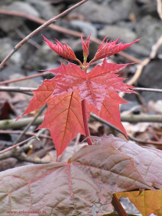 Young Maple